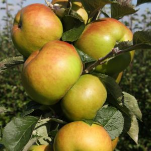bramley apple trees for sale